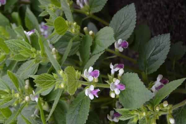 Immenblatt 'Royal Velvet Distinction' - Melittis melissophyllum 'Royal Velvet Distinction'