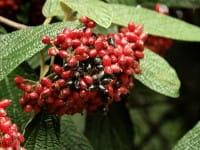 Immergrüner Zungen- Schneeball • Viburnum rhytidophyllum