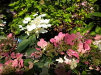 Rispenhortensie Early Sensation • Hydrangea paniculata Early Sensation