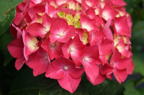 Bauernhortensie Leuchtfeuer • Hydrangea macrophylla Leuchtfeuer