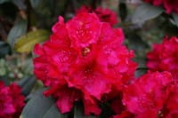 Rhododendron Mrs.P.den Ouden • Rhododendron Hybride Mrs.P.den Ouden