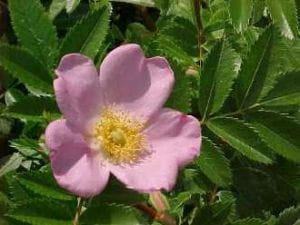 Wiesen-Rose • Rosa carolina- Wildrose