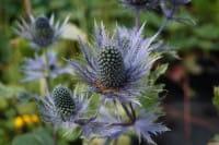 Garten-Mannstreu Blue Star • Eryngium alpinum Blue Star