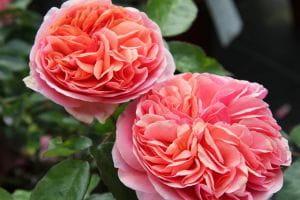 Nostalgie-Edelrose Chippendale • Rosa Chippendale