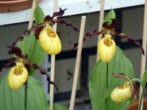 Gelb-brauner Frauenschuh Orchidee • cypripedium calceolus