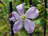 Italienische Waldrebe Prince Charles • Clematis viticella Prince Charles