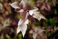 Fasanenspiere Red Baron • Physocarpus opulifolius Red Baron