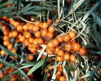 Sanddorn, weiblich, Frugana • Hippophae rhamnoides Frugana