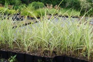 Weißgestreifter Garten-Chinaschilf • Miscanthus sinensis Variegatus