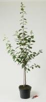 Pflaume Hanita • Prunus domestica Hanita