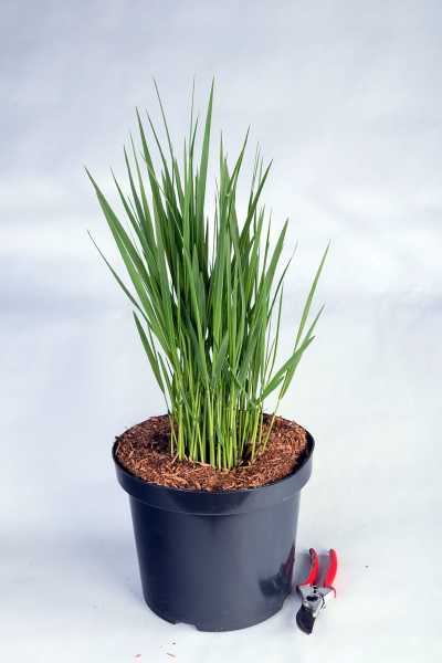 Garten-Ruten-Hirse • Panicum virgatum Northwind