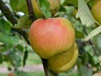 Apfel Goldrenette von Blenheim • Malus Goldrenette von Blenheim