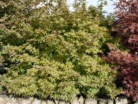 Fächerahorn Ukigumo • Acer palmatum Ukigumo
