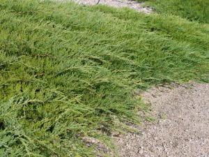 Teppichwacholder Wiltonii • Juniperus horizontalis Wiltonii