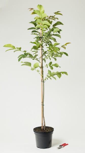 Walnußbaum Echte Walnuss • Juglans regia