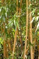 Goldrohrbambus • Phyllostachys aurea