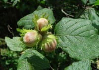 Haselnuß-Strauch • Corylus avellana
