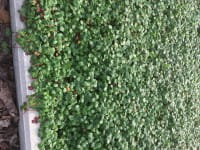 Garten-Zier-Erdbeere • Fragaria chiolense Chaval