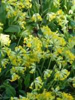Apotheker-Schlüsselblume • Primula veris ssp.veris