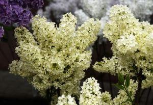 Edelflieder Primrose • Syringa vulgaris Primrose