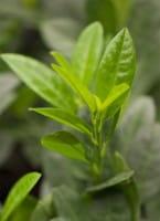 Zwerg-Kirschlorbeer Piri • Prunus laurocerasus Piri