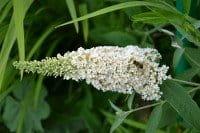 Sommerflieder Reve de Papillon White • Buddleja davidii Reve de Papillon White