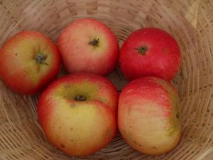 Apfel Discovery • Malus Discovery