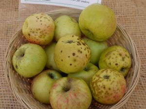 Apfel Maunzenapfel • Malus Maunzenapfel