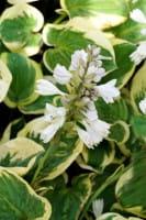 Große graugrüne Garten-Funkie • Hosta sieboldiana Snow Cap