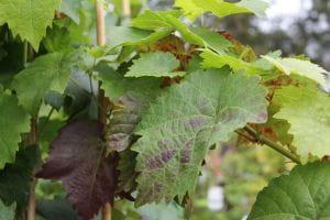 Weinrebe Romulus • Vitis vinifera Romulus
