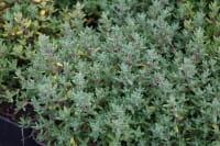 Garten-Thymian Compactus • Thymus vulgaris Compactus