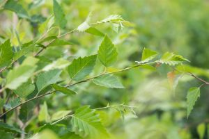 Schwarz-Birke • Betula nigra