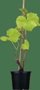Edelwein 'Solaris'• Vitis vinifera 'Solaris'