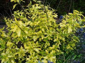 Bartblume Summer Sorbet® • Caryopteris clandonensis Summer Sorbet
