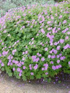 Garten Storchschnabel Sirak • Geranium gracile Sirak