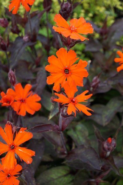 Lichtnelke Orange Zwerg • Lychnis arkwrightii Orange Zwerg