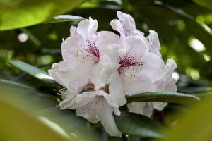 Japanische Azalee Schneewittchen • Rhododendron obtusum Schneewittchen