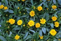 Großblumiges Mädchenauge Early Sunrise • Coreopsis grandiflora Early Sunrise