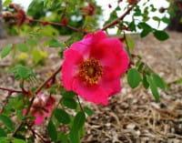 Rose sweginzowii • Rosa sweginzowii