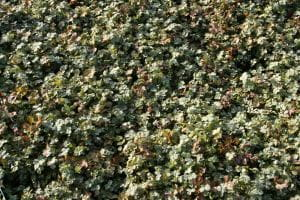Blaugrünes Stachelnüsschen • Acaena buchananii