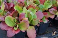 Garten Bergenie Rotblum • Bergenia cordifolia Rotblum