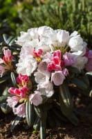 Rhododendron Edelweiß • Rhododendron yakushimanum Edelweiß