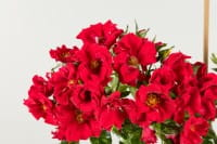 Bodendeckerrose Alpenglühen • Rosa Alpenglühen