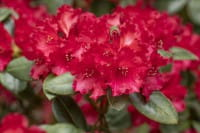 Rhododendron Tromba • Rhododendron williams. Tromba