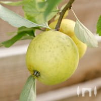 Apfel Ananasrenette • Malus Ananasrenette