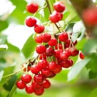 Sauerkirsche Ludwigs Frühe • Prunus cerasus Ludwigs Frühe