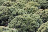 Kugel-Kiefer Mops • Pinus mugo Mops