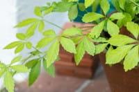 Unsterblichkeitskraut Jiaogulan • Gynostemma pentaphyllum