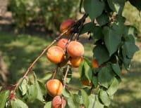 Aprikose Kuresia • Prunus armeniaca Kuresia