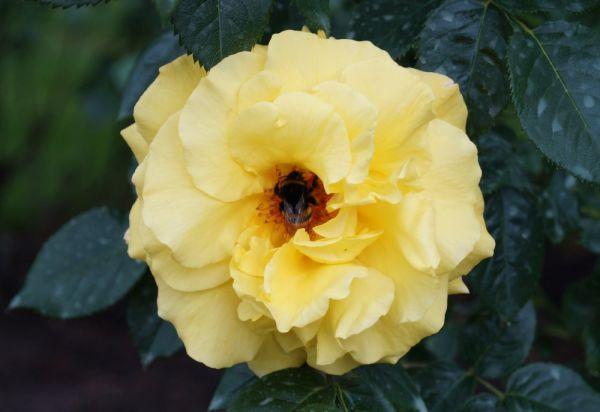 Rose Lichtkönigin Lucia ® • Rosa Lichtkönigin Lucia ®